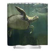 Green Sea Turtle Chelonia Mydas Shower Curtain