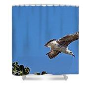 Juvenile Herring Gull Shower Curtain