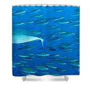 School Of Wide-band Fusilier Fish Shower Curtain