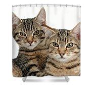 Tabby Kittens Shower Curtain
