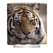 Tiger, Qinhuangdao Zoo, Hebei Province Shower Curtain