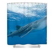 Whale Shark, Ari And Male Atoll Shower Curtain