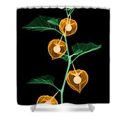X-ray Of Chinese Lantern Plant Shower Curtain