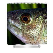 Yellow Perch Perca Flavescens Shower Curtain