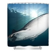 Whale Shark Feeding Under Fishing Shower Curtain