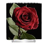 A Red Rose Rosaceae Shower Curtain