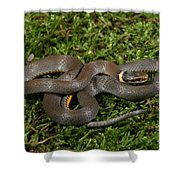 Northern Ringneck Snake Shower Curtain