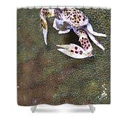 Spotted Porcelain Crab Feeding Shower Curtain by Steve Jones