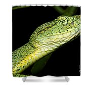 Two Striped Forest Pit Viper Shower Curtain