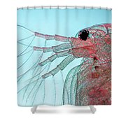 Water Flea Daphnia Magna Shower Curtain