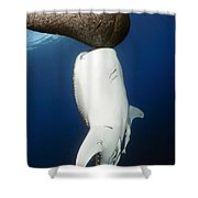 Whale Shark Feeding Under Fishing Shower Curtain
