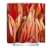 African Blood Lily Or Fireball Lily Shower Curtain