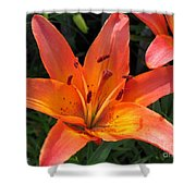 Asiatic Lily Named Gran Paradiso Shower Curtain
