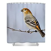Female Pine Grosbeak Shower Curtain