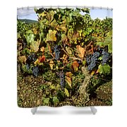 Grapes Growing On Vine Shower Curtain