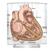 Illustration Of Heart Anatomy Shower Curtain