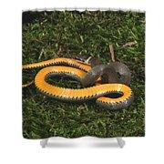 Northern Ringneck Snake Shower Curtain