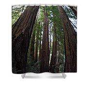 Redwoods Sequoia Sempervirens Shower Curtain