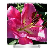 Dwarf Oriental Lily Named Farolito Shower Curtain