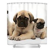 Pug And English Mastiff Puppies Shower Curtain