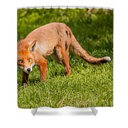 A British Red Fox Shower Curtain
