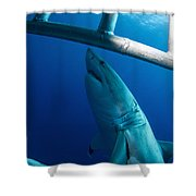 Male Great White Shark, Guadalupe Shower Curtain