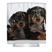 Dachshund Pups Shower Curtain