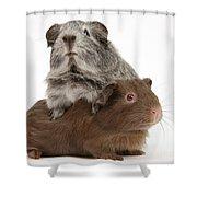 Guinea Pigs Shower Curtain