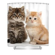Maine Coon Kittens Shower Curtain