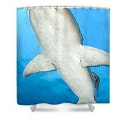 Whitetip Reef Shark, Kimbe Bay, Papua Shower Curtain