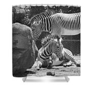 Zebras In Black And White Shower Curtain
