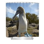 A Blue-footed Booby Of The Galapagos Shower Curtain