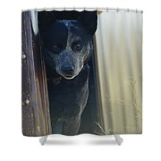 A Blue Heeler Cattle Dog Peers Shower Curtain