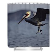 A Brown Pelican Prepares To Land Shower Curtain