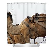 A Camel Foraging For Food In A Desert Environment Shower Curtain