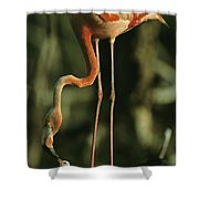 A Caribbean Flamingo Stands On Its Nest Shower Curtain