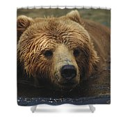A Close View Of A Captive Kodiak Bear Shower Curtain