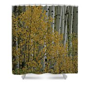 A Close View Of Quaking Aspen Trees Shower Curtain