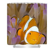 A Clown Anemonefish In A Purple Shower Curtain