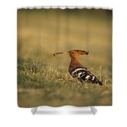 A Eurasian Hoopoe With An Insect Shower Curtain