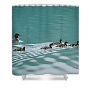 A Family Of Merganser Ducks Swim Shower Curtain