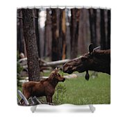 A Female Moose Nuzzles Her  Young Shower Curtain