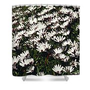 A Field Of Prolofic White Daisy Flowers Shower Curtain
