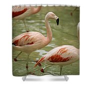 A Flock Of Chilean Flamingos Wading Shower Curtain