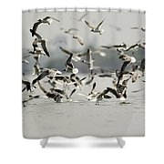 A Flock Of Laughing Gulls Larus Shower Curtain