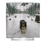 A Forlorn And Snow-dusted Sheltie Shower Curtain