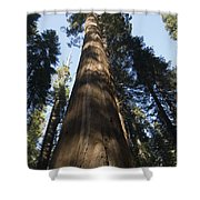 A Giant Redwood In The Mariposa Grove Shower Curtain