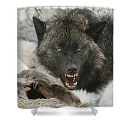 A Gray Wolf, Canis Lupus, Growls Shower Curtain