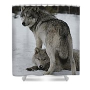 A Gray Wolf, Canis Lupus, Stands Shower Curtain