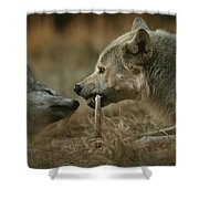 A Gray Wolf Pup, Canis Lupus, Begs An Shower Curtain